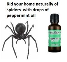 Peppermint oil gets rid of spider